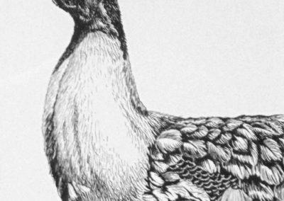 Sarah Breisch - Peacock - Pen & Ink, scratchboard