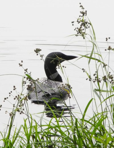 Nate Carey - Loon Near Shore - Photograph - $100