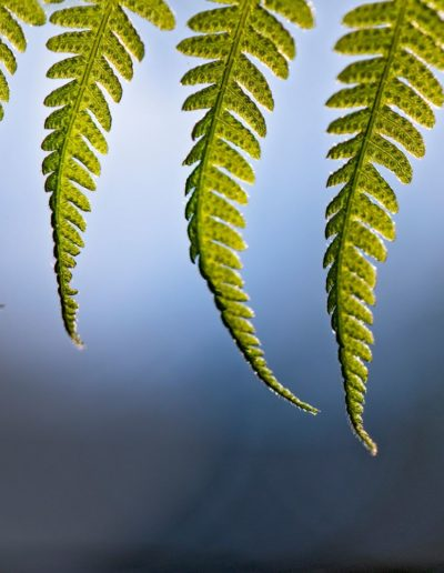 Scott Snyder - Backlit Fern - Photograph - $150